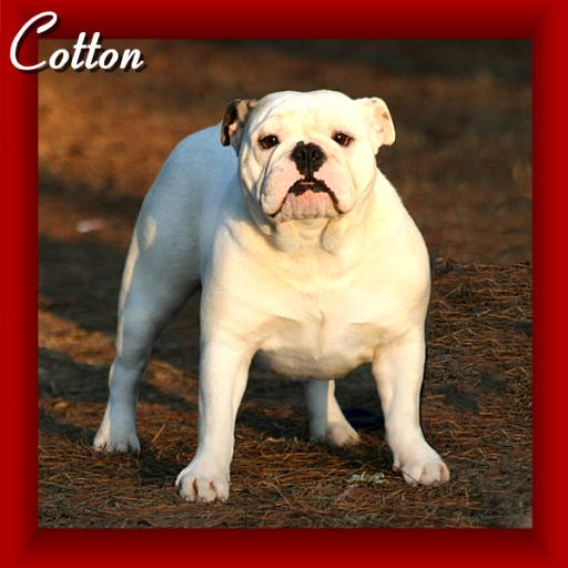 images for female english bulldogs